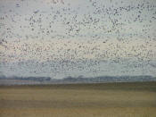 Thousands of geese in North Dakota